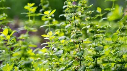 Многолетние пряные травы в саду и на балконе