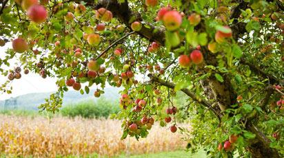 Обрезка яблони весной: сроки и правила проведения