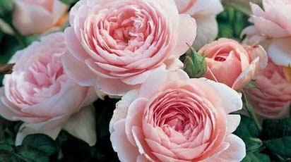 Посадка роз осенью и правильный уход за саженцами