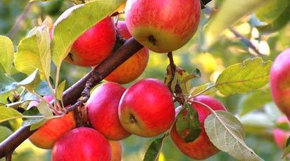 Когда лучше сажать яблони и груши