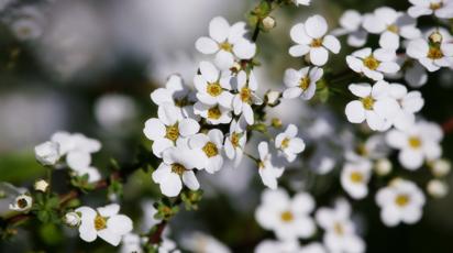 Мелкие белые цветочки название