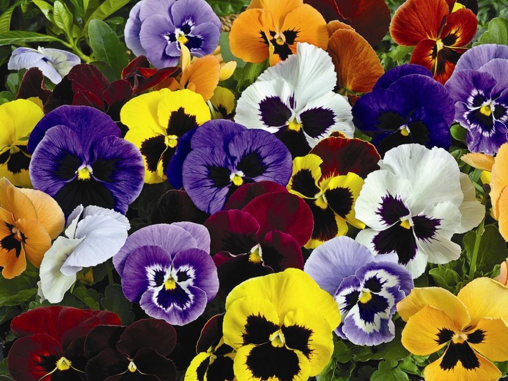 Виола многолетние цветы