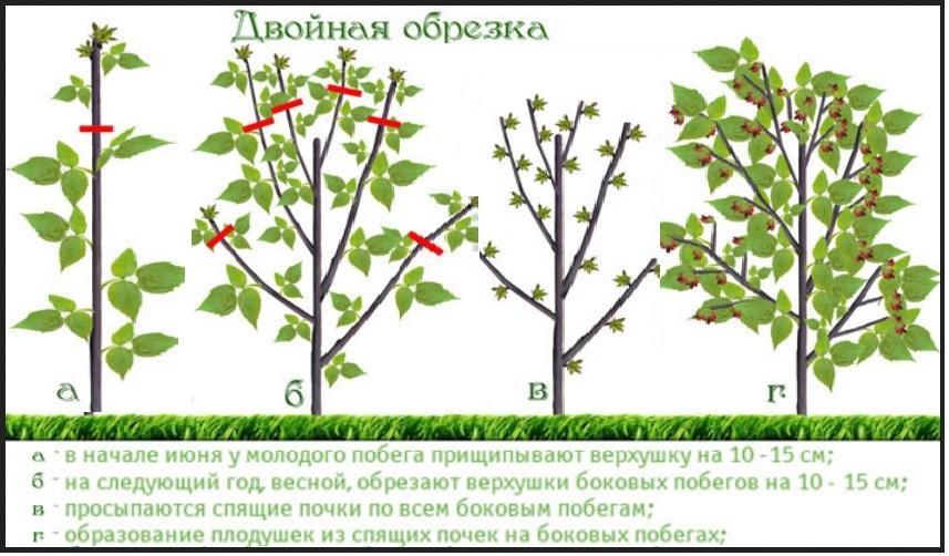 Что такое малиновое дерево 4