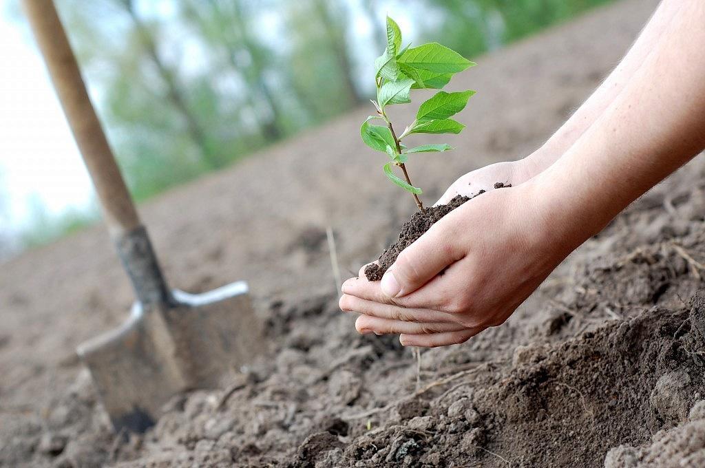 Картинка как сажают дерево 590