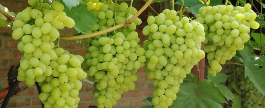 посадка винограда на урале осенью