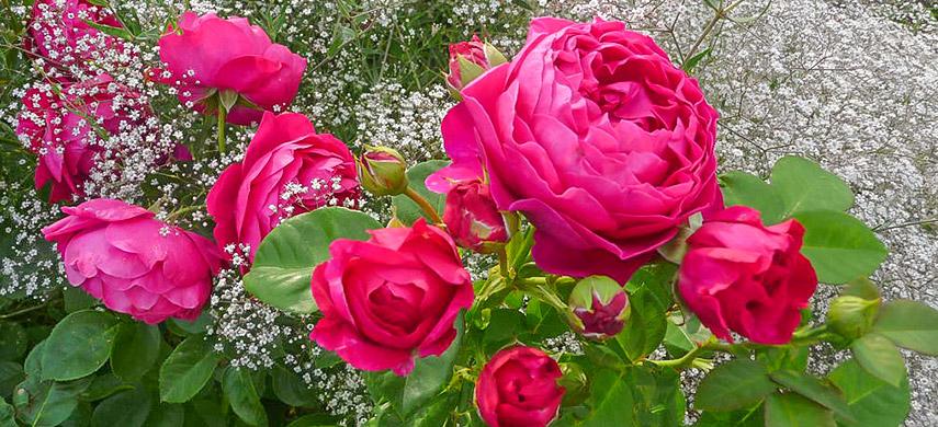 что посадить рядом с розами