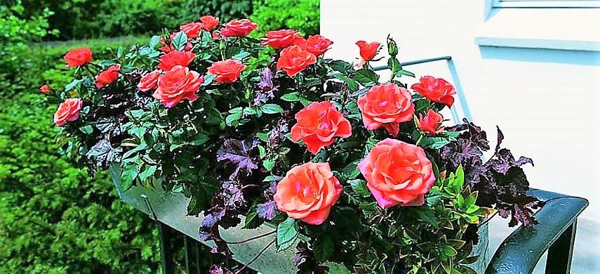 Удобрения для контейнерных роз