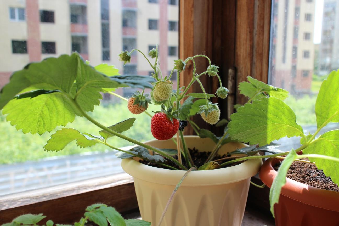Клубника выращивание дома в квартире 11