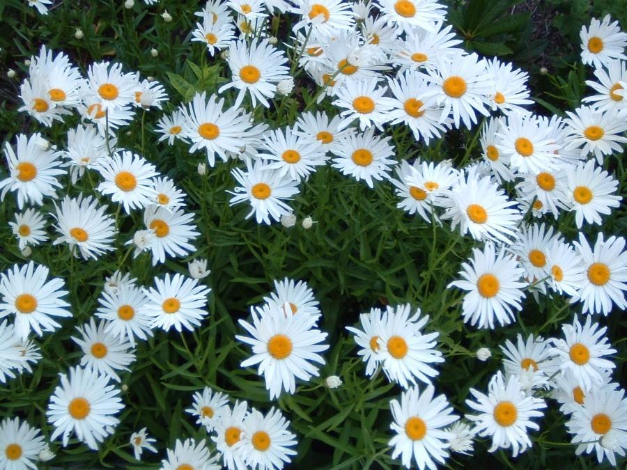 Нивяник многолетние цветы