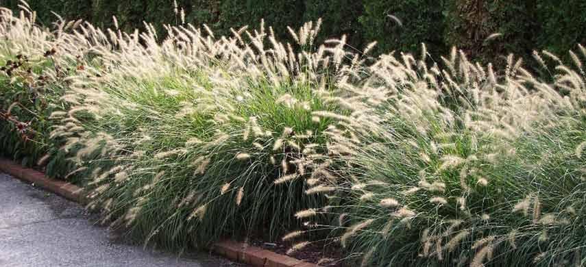 Выращивание овсяницы из семян фото 1