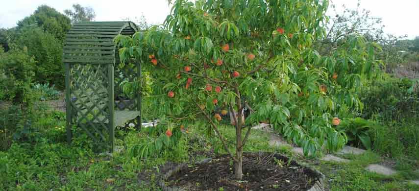Правила посадки персика фото 3