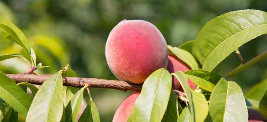 Правила посадки персика фото 1