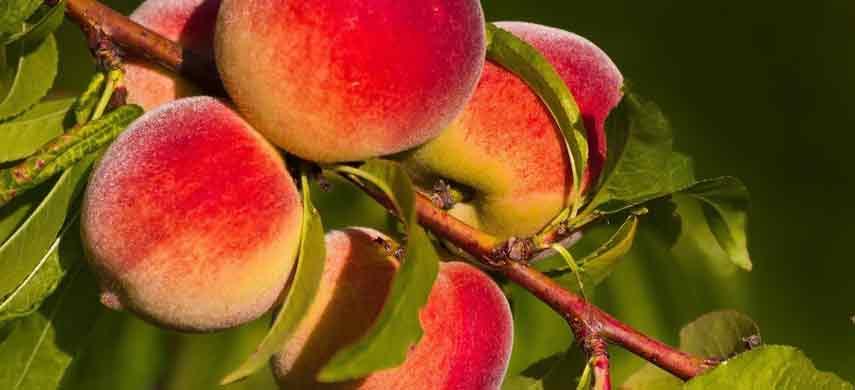 Правила посадки персика фото 2