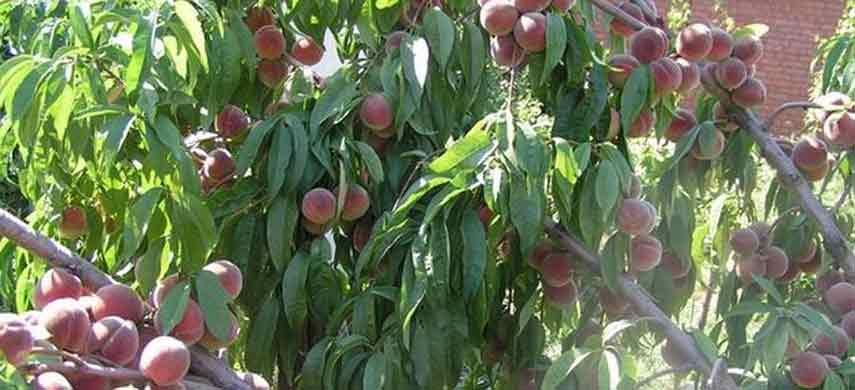 Правила посадки персика фото 5
