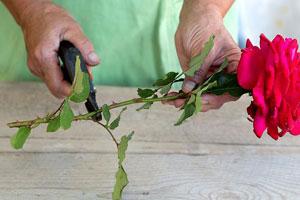 Выращивание розы из букета фото 2