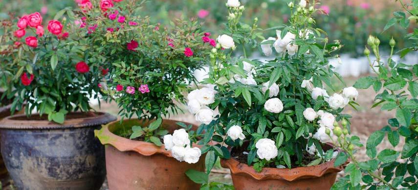 советы по выращиванию роз в контейнере