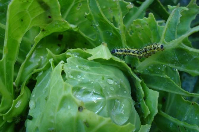вредители капусты белокочанной
