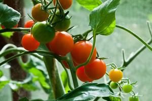битва томатов 3