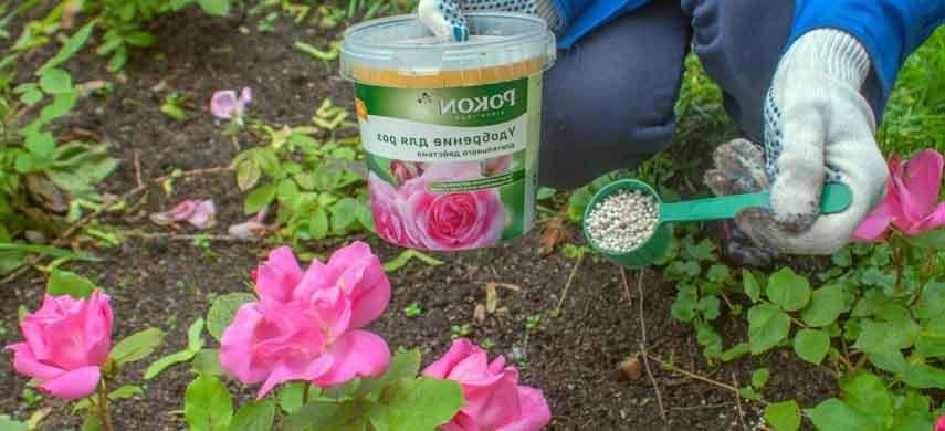 Вовремя розам дадим удобрения – пышным и длительным будет цветениеВовремя розам дадим удобрения – пышным и длительным будет цветение 3