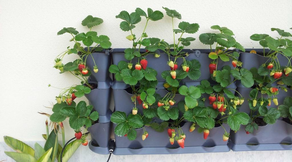 Как вырастить клубнику на подоконнике или балконе.