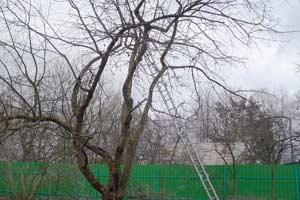 Обрезка яблони весной фото 4