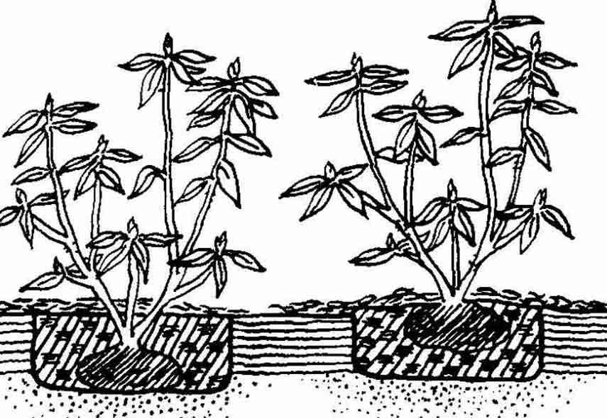 Рододендроны в открытом грунте: посадка и уход