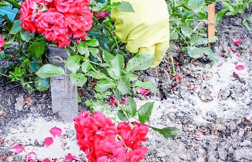 Главные опасности для роз в период зимовки