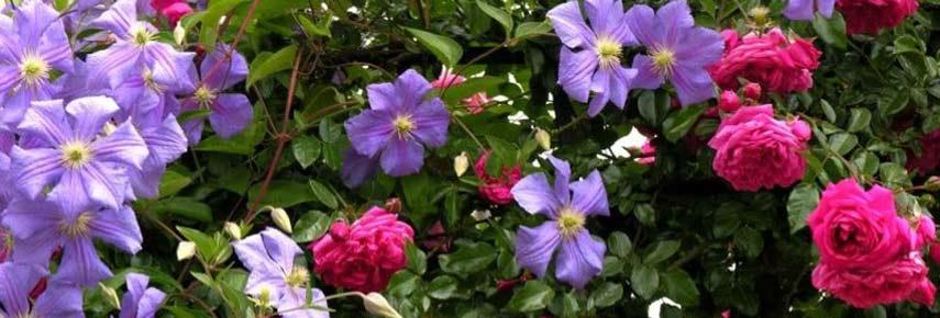 Плетистые розы компаньон клематис
