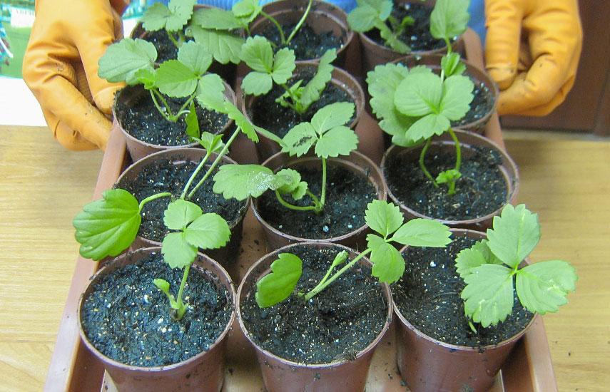 как вырастить землянику в домашних условиях