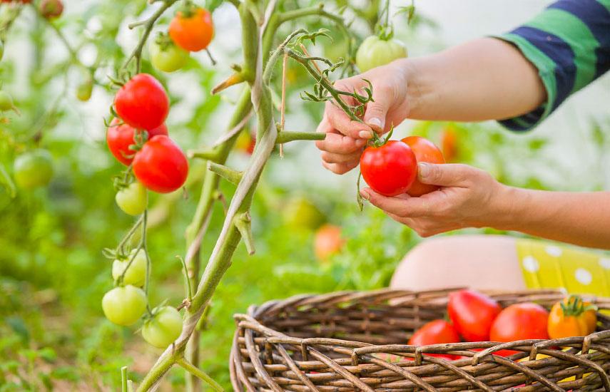 томаты посев на рассаду