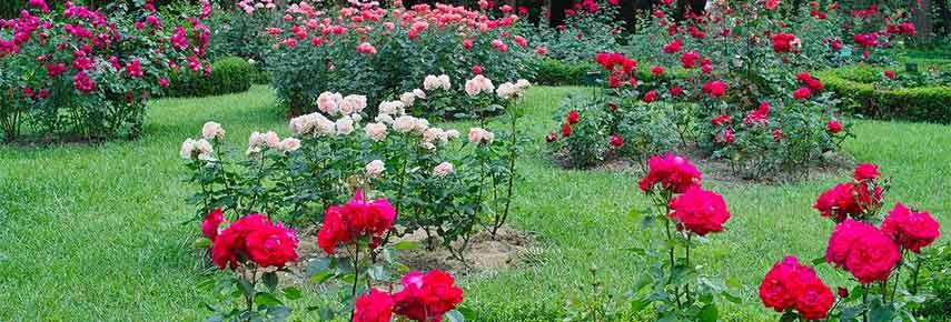 Розы и газон