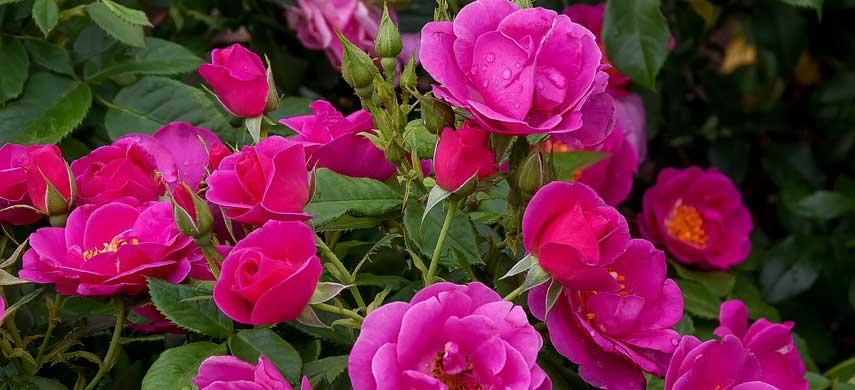 букетное цветение