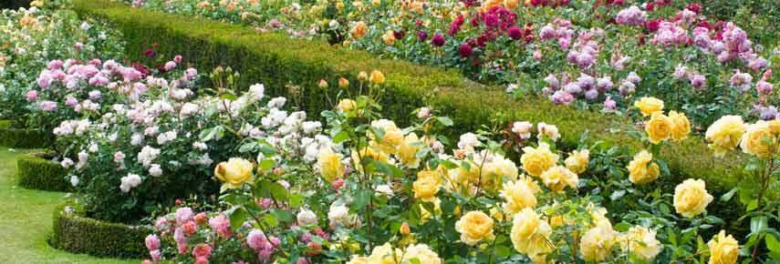 клумбы из роз разных видов