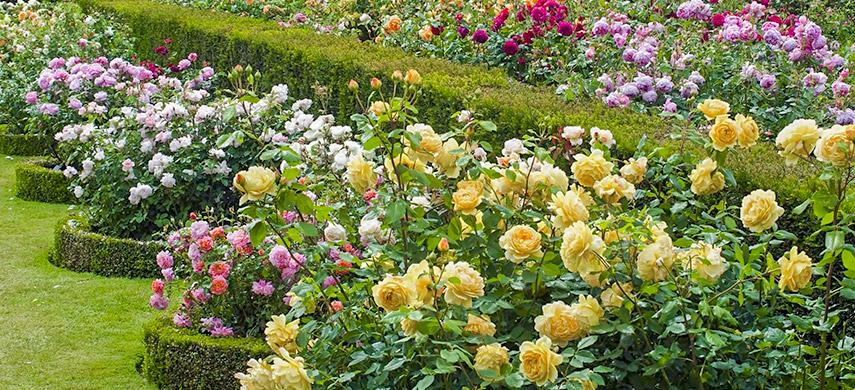 троянди в англійському саду