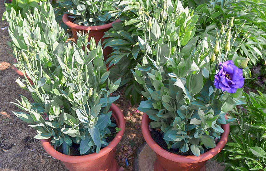 Выращиваем эустому – полная технология: от рассады до высадки в грунт