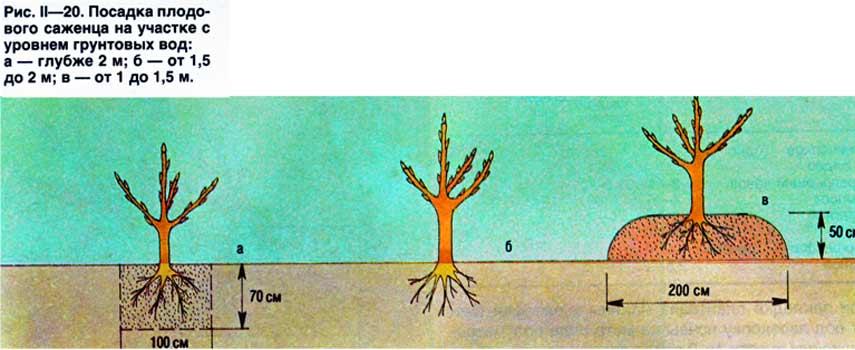 как посадить сливу при высоком стоянии подземных вод