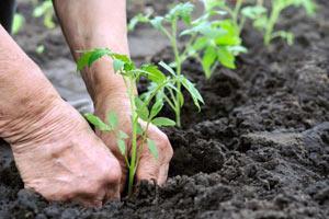 подготовка помидорной рассады