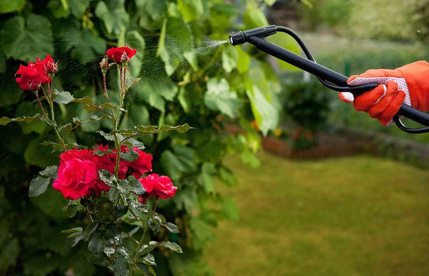 догляд за трояндами календар